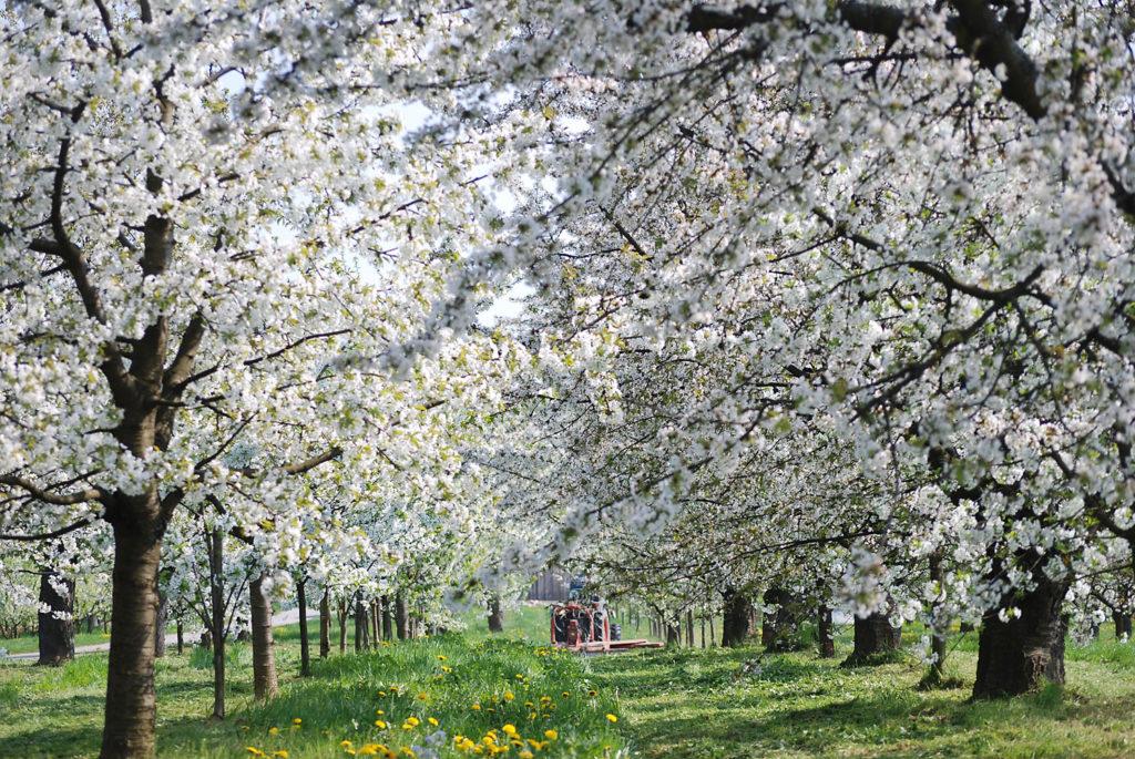 Foto-Locations: Die Suche nach den besten Motiven zur richtigen Zeit. Blühende Kirschbäume im richtigen Licht.