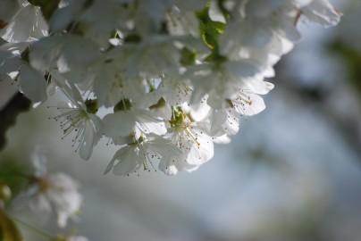 Kirschblüte am Kaiserstuhl